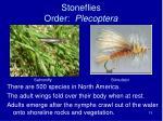 stoneflies order plecoptera
