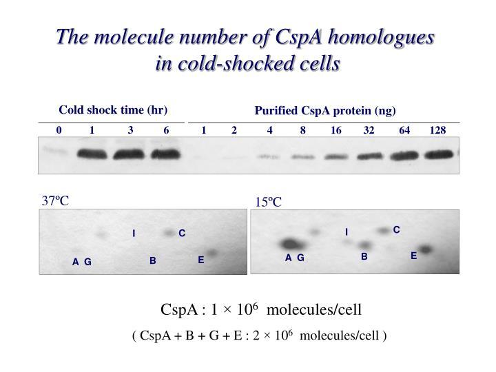 The molecule number of CspA homologues