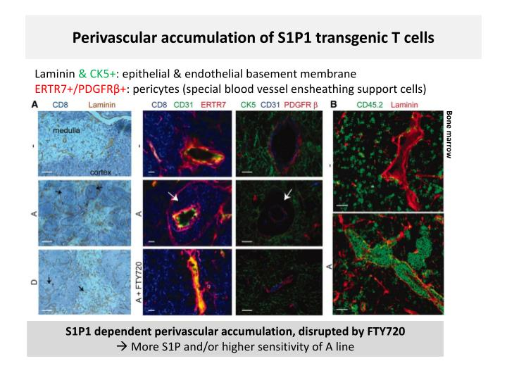 Perivascular accumulation of S1P1 transgenic T cells