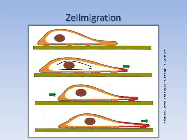 Zellmigration