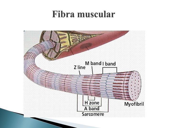 Fibra muscular