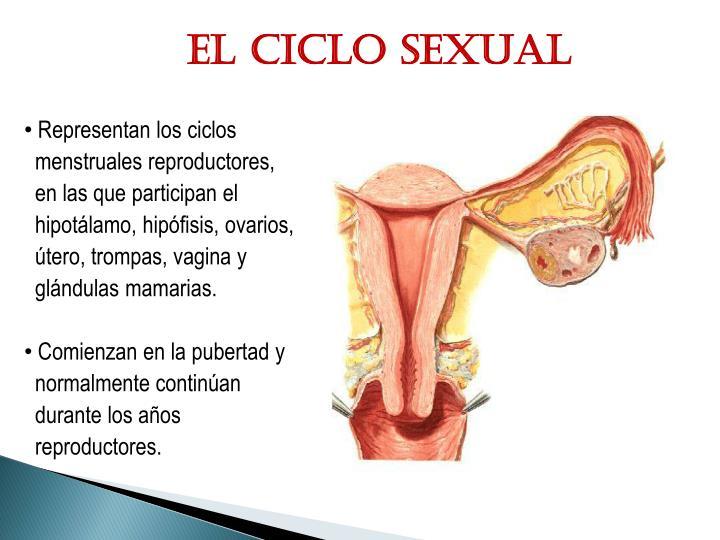 El ciclo sexual
