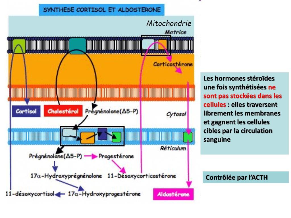 PPT - Les glandes surrénales PowerPoint Presentation, free..