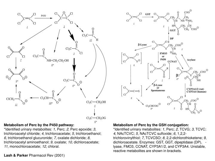 Metabolism of Perc by the P450 pathway: