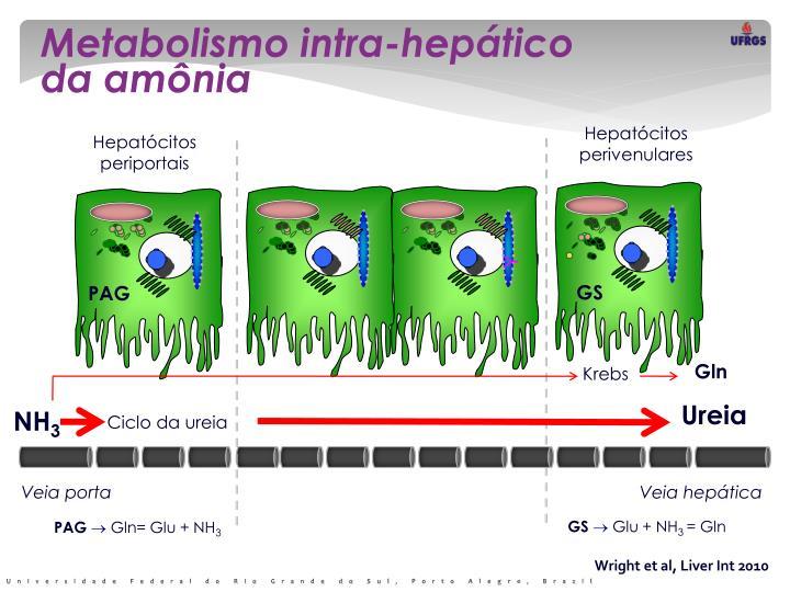 Metabolismo intra-hepático             da amônia