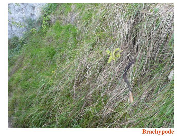 Brachypode