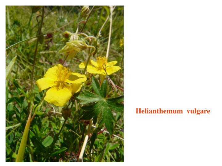 Helianthemum  vulgare