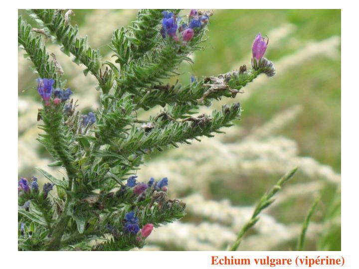 Echium vulgare (vipérine)