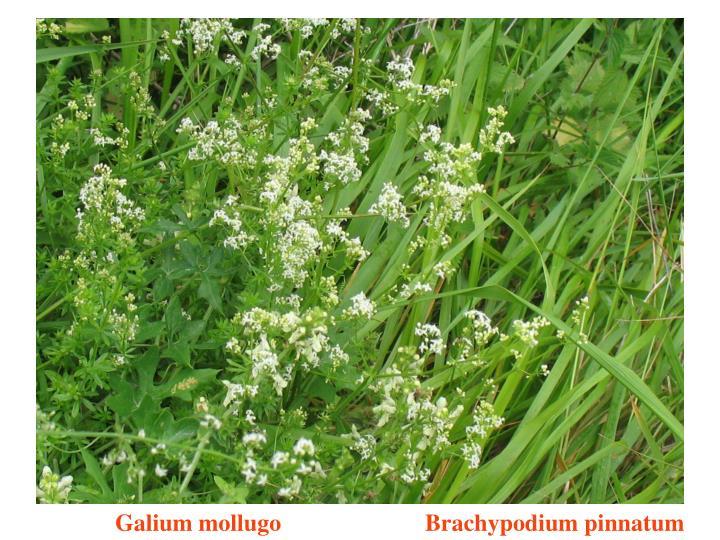 Galium mollugo                        Brachypodium pinnatum