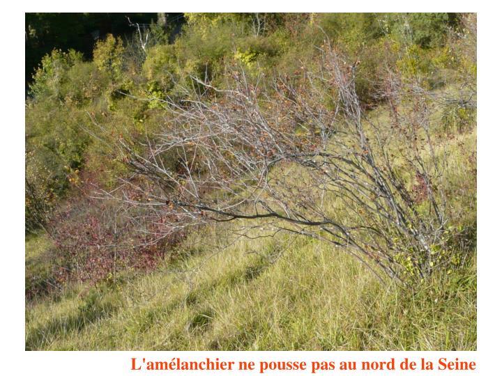 L'amélanchier ne pousse pas au nord de la Seine