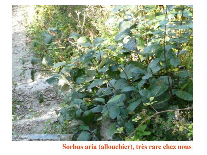 Sorbus aria (allouchier), très rare chez nous