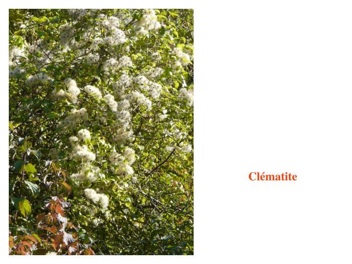 Clématite