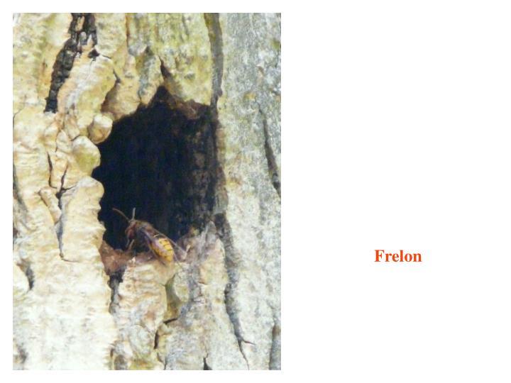 Frelon
