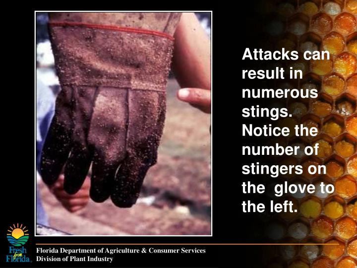 Attacks can result in numerous stings. Notice the number of stingers on the  glove to the left.