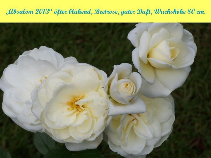 """""""Absalom 2013"""" öfter blühend, Beetrose, guter Duft, Wuchshöhe 80 cm."""