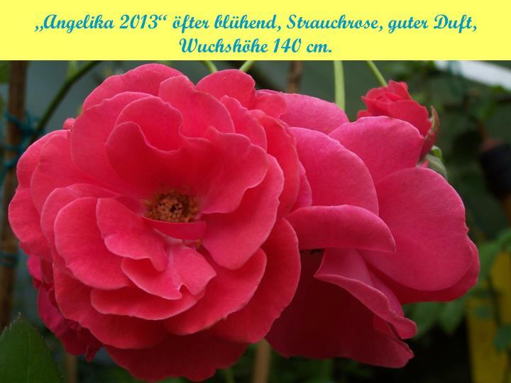 """""""Angelika 2013"""" öfter blühend, Strauchrose, guter Duft, Wuchshöhe 140 cm."""