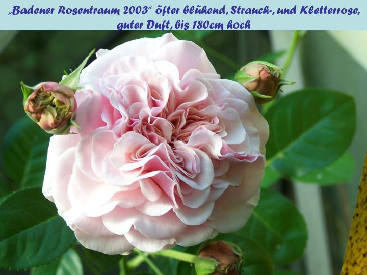 """""""Badener Rosentraum 2003"""" öfter blühend, Strauch-, und Kletterrose, guter Duft, bis 180cm hoch"""