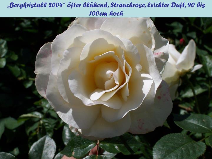 """""""Bergkristall 2004"""" öfter blühend, Strauchrose, leichter Duft, 90"""