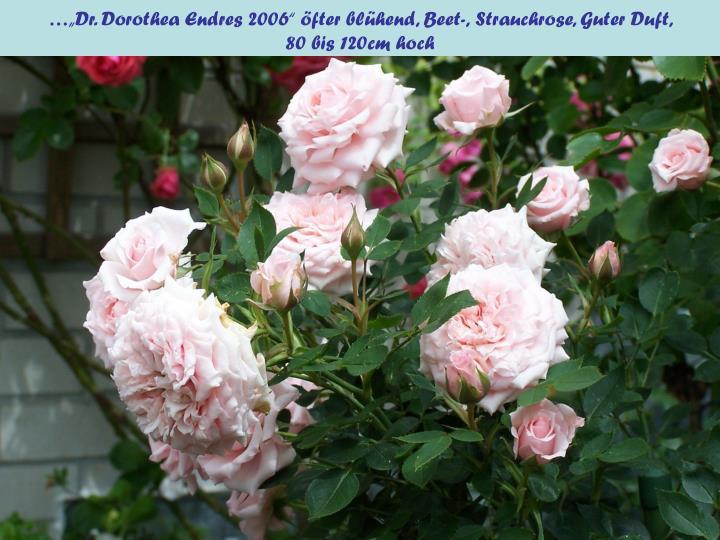 """…""""Dr. Dorothea Endres 2006"""" öfter blühend, Beet-,"""