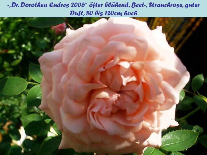 "-""Dr. Dorothea Endres 2006"" öfter blühend, Beet-, Strauchrose, guter Duft, 80 bis 120cm hoch"