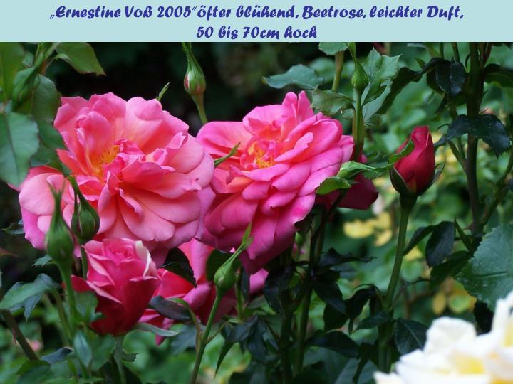 """""""Ernestine Voß 2005""""öfter blühend, Beetrose, leichter Duft,"""