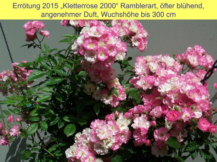 """Errötung 2015 """"Kletterrose 2000"""" Ramblerart, öfter blühend, angenehmer Duft, Wuchshöhe bis 300 cm"""