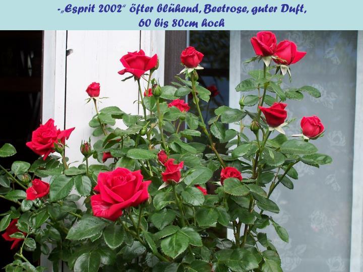 """-""""Esprit 2002"""" öfter blühend, Beetrose, guter Duft,"""