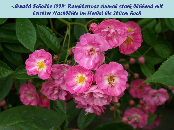"""-""""Ewald Scholle 1998"""" Ramblerrose einmal stark blühend mit leichter Nachblüte im Herbst bis 250cm hoch"""
