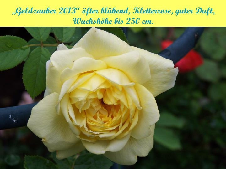 """""""Goldzauber 2013"""" öfter blühend, Kletterrose, guter Duft, Wuchshöhe bis 250 cm."""