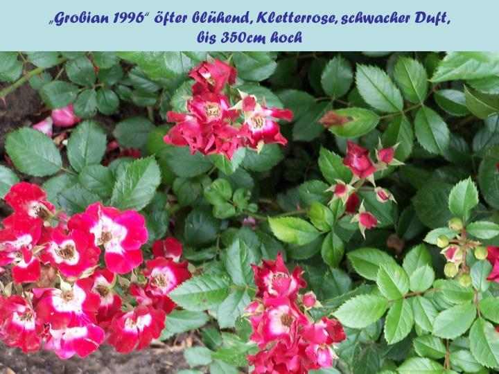 """Grobian 1996"" öfter blühend, Kletterrose, schwacher Duft,"