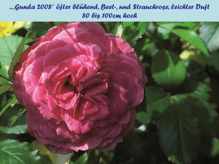 """..""""Gunda 2008"""" öfter blühend, Beet-, und Strauchrose, leichter Duft"""