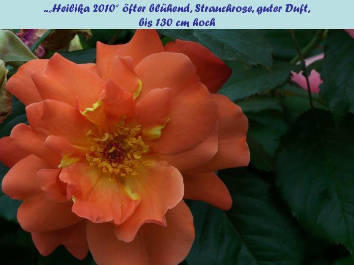 """..""""Heilika 2010"""" öfter blühend, Strauchrose, guter Duft,"""