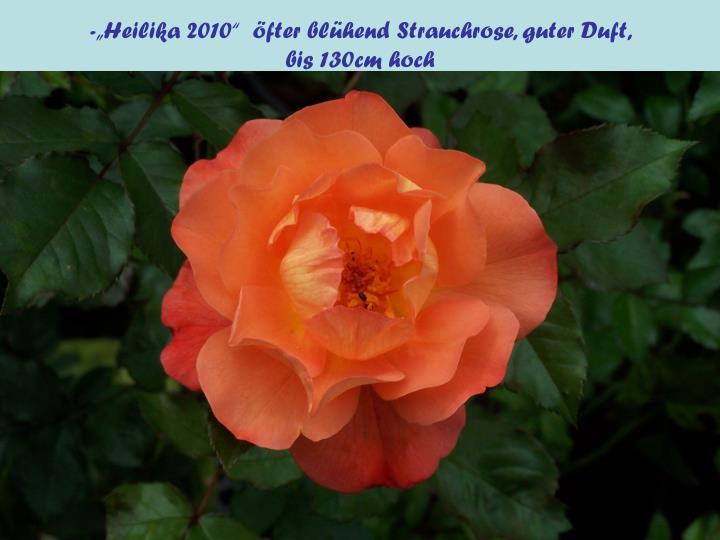 """-""""Heilika 2010""""  öfter blühend Strauchrose, guter Duft,"""