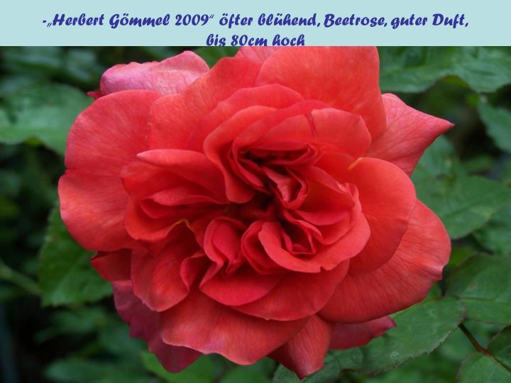 """-""""Herbert Gömmel 2009"""" öfter blühend, Beetrose, guter Duft,"""