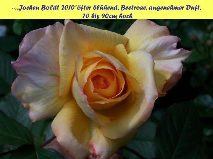 "--.""Jochen Boldt 2010""öfter blühend, Beetrose, angenehmer Duft,"
