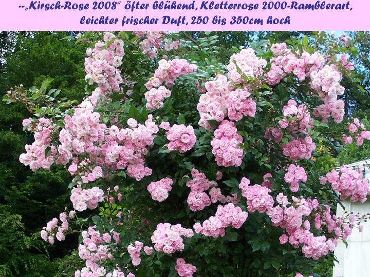 """--""""Kirsch-Rose 2008"""" öfter blühend, Kletterrose 2000-Ramblerart, leichter frischer Duft, 250 bis 350cm hoch"""