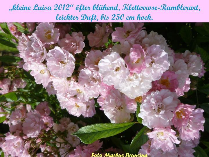 """""""kleine Luisa 2012"""" öfter blühend, Kletterrose-Ramblerart,"""