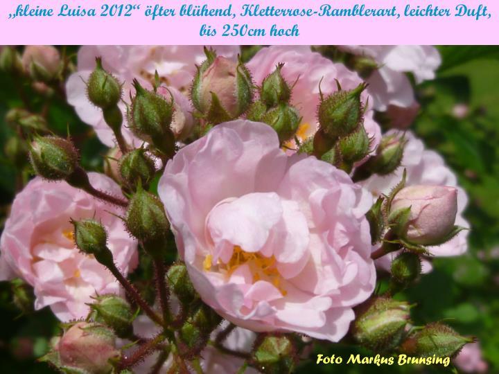 """""""kleine Luisa 2012"""" öfter blühend, Kletterrose-Ramblerart, leichter Duft,"""