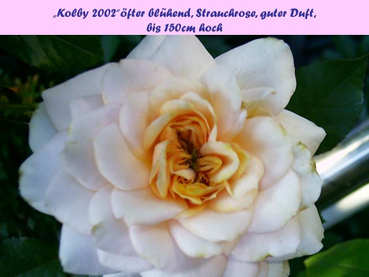 """Kolby 2002""öfter blühend, Strauchrose, guter Duft,"