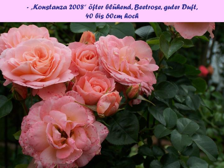 """- """"Konstanza 2008"""" öfter blühend, Beetrose, guter Duft,"""