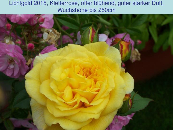 Lichtgold 2015, Kletterrose, öfter blühend, guter starker Duft,
