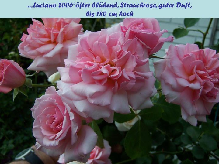 """..""""Luciano 2006""""öfter blühend, Strauchrose, guter Duft,"""