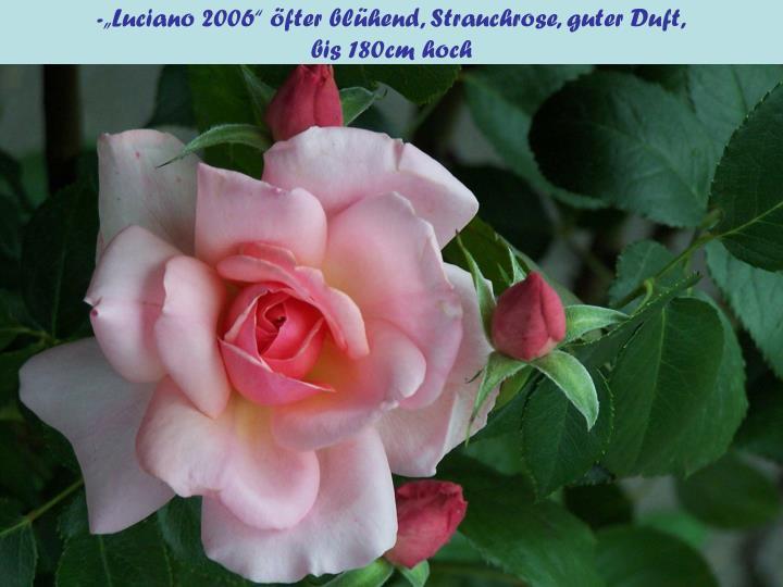 """-""""Luciano 2006"""" öfter blühend, Strauchrose, guter Duft,"""