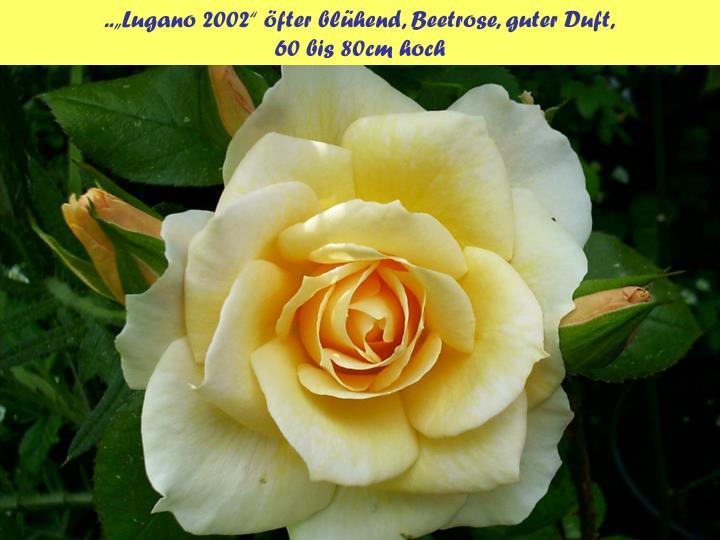 "..""Lugano 2002"" öfter blühend, Beetrose, guter Duft,"