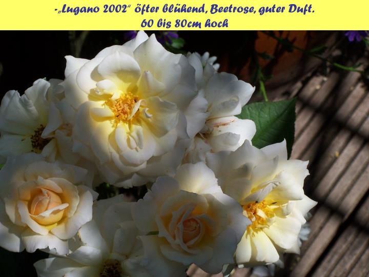 "-""Lugano 2002"" öfter blühend, Beetrose, guter Duft."