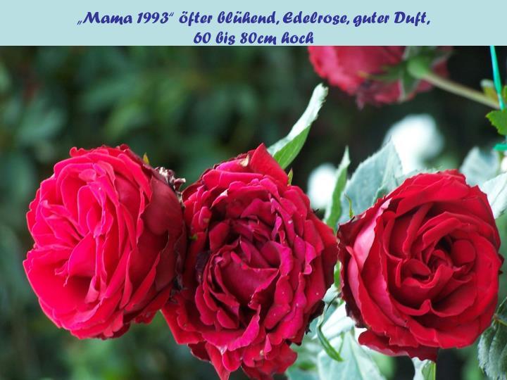 """""""Mama 1993"""" öfter blühend, Edelrose, guter Duft,"""