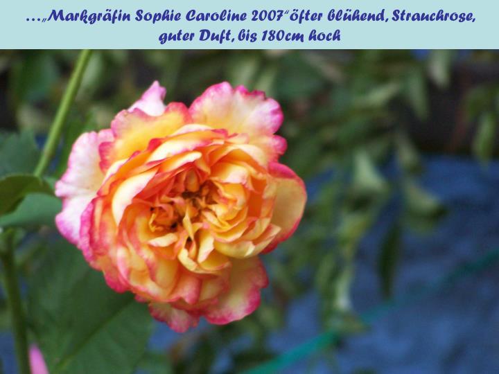 """…""""Markgräfin Sophie Caroline 2007""""öfter blühend, Strauchrose,"""