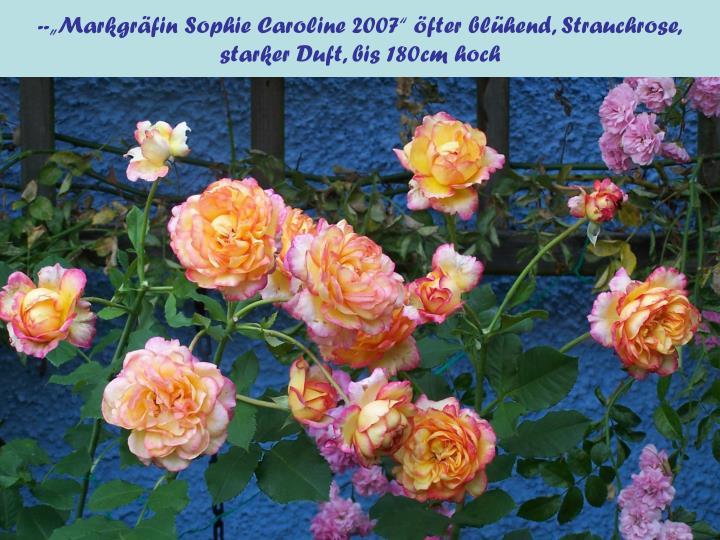 """--""""Markgräfin Sophie Caroline 2007"""" öfter blühend, Strauchrose,"""