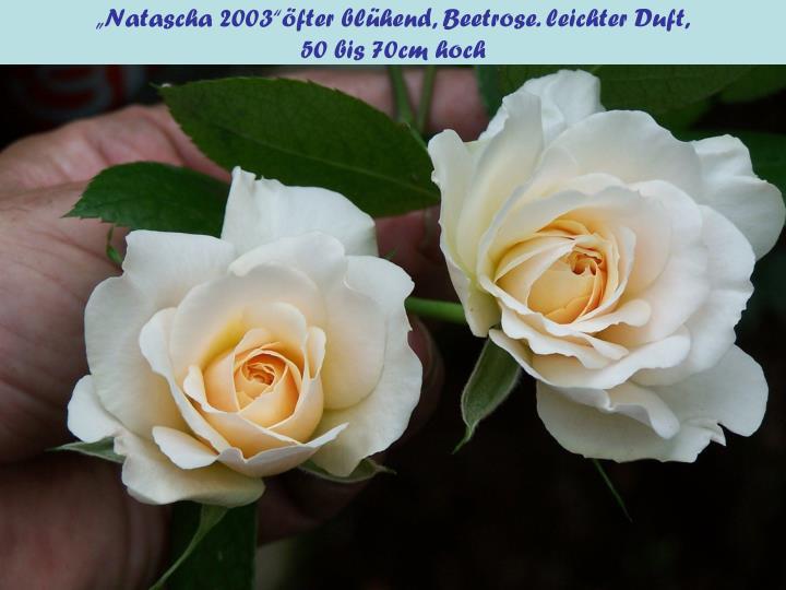 """""""Natascha 2003""""öfter blühend, Beetrose. leichter Duft,"""