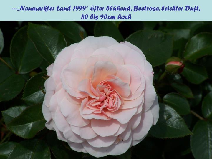 """---""""Neumarkter Land 1999"""" öfter blühend, Beetrose, leichter Duft,"""